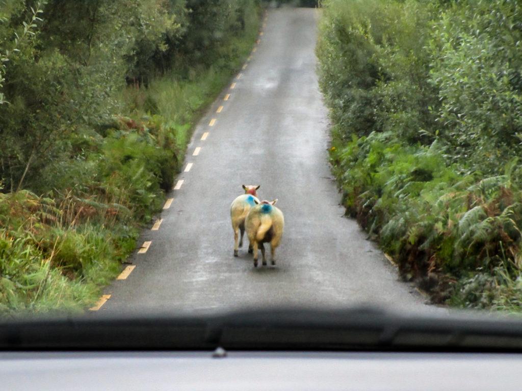 Anhalten! Schafe auf der Straße!