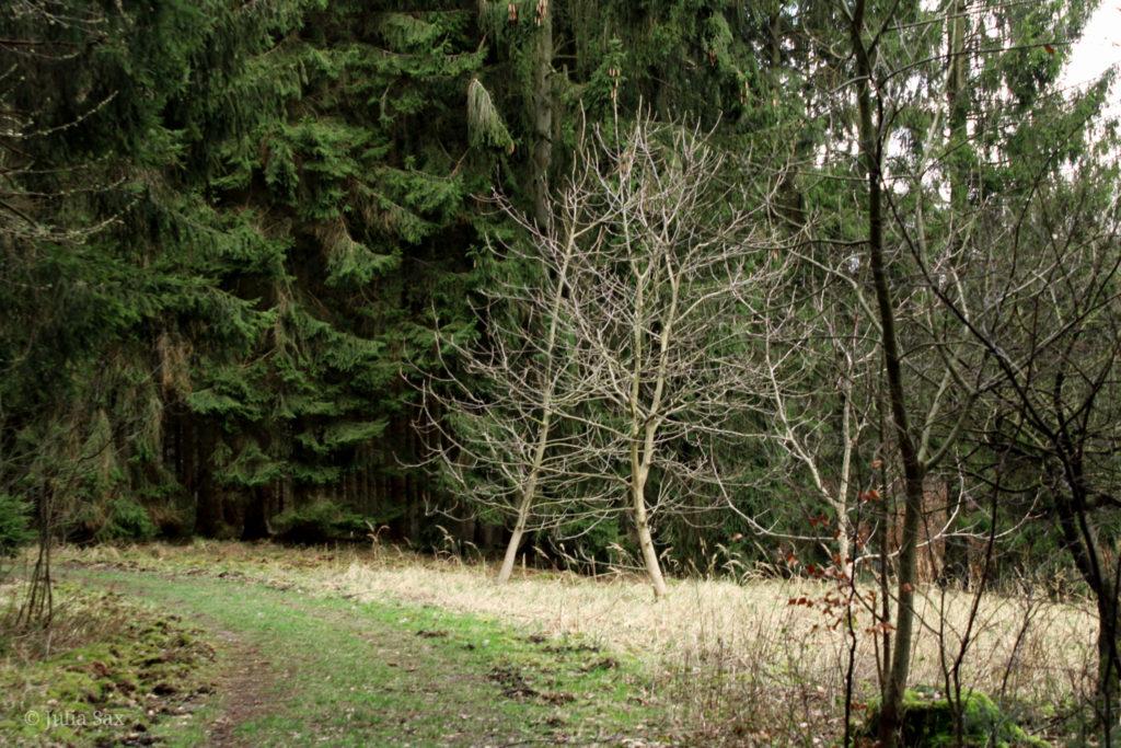 Vor dem Nadelwald