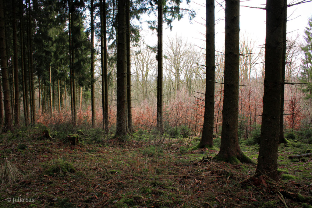 Der Nadelwald