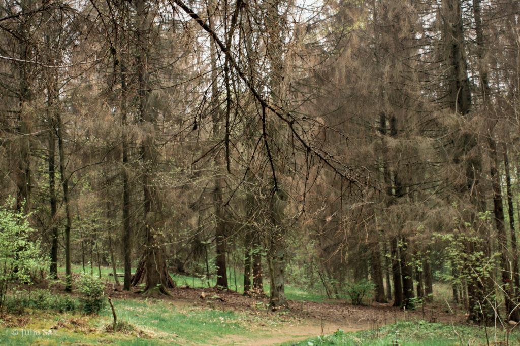 Bäume mit Borkenkäfer-Befall
