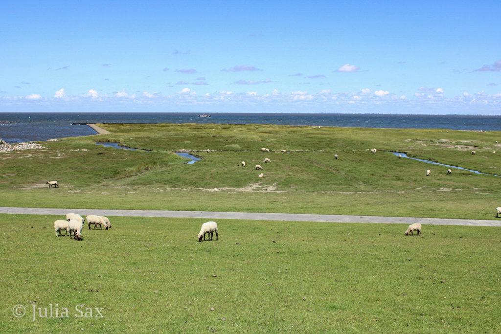 Schafe auf den Salzwiesen