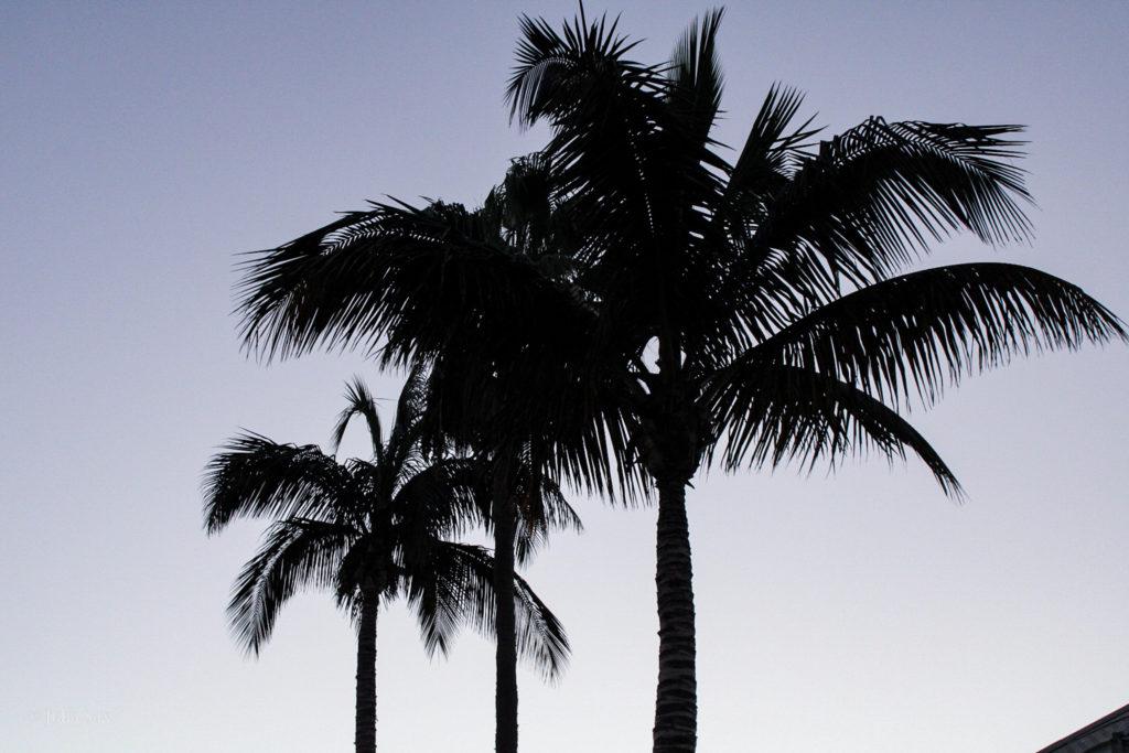 Schwarze Palmen vor Abendhimmel